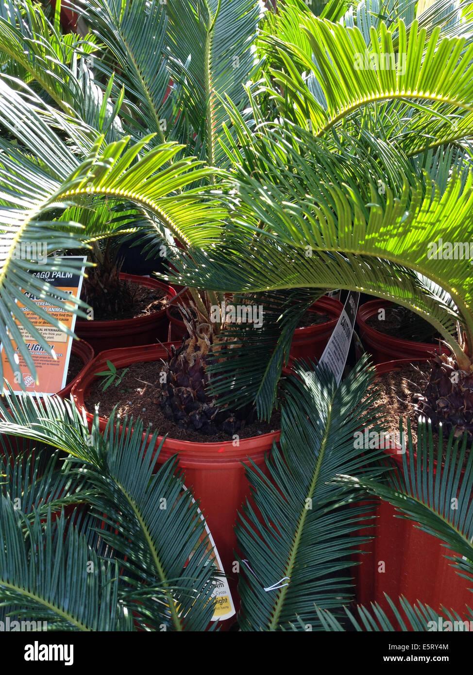 sago palms stock photos sago palms stock images alamy. Black Bedroom Furniture Sets. Home Design Ideas