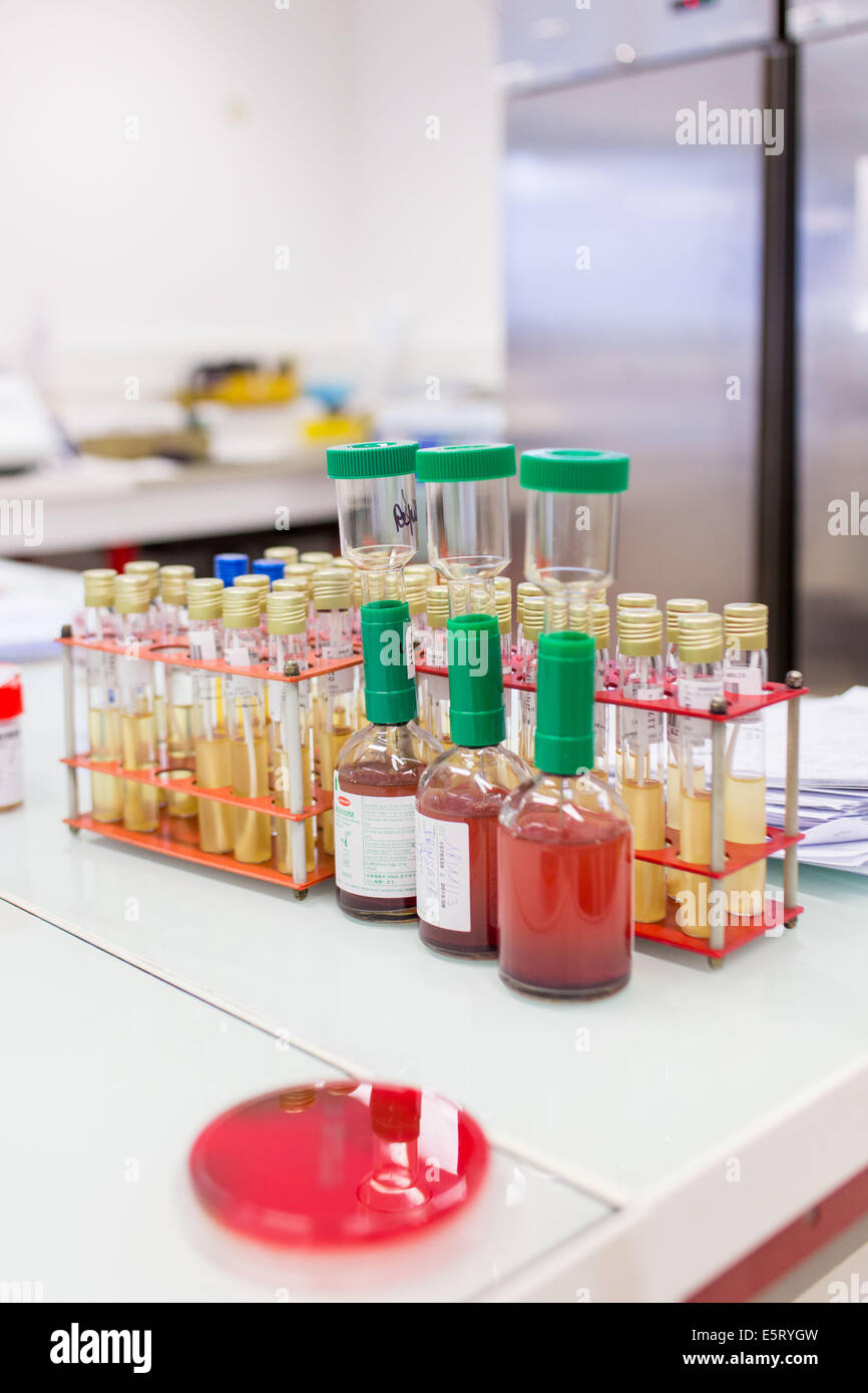Bacterial and mycological cultures in a medical laboratory. - Stock Image
