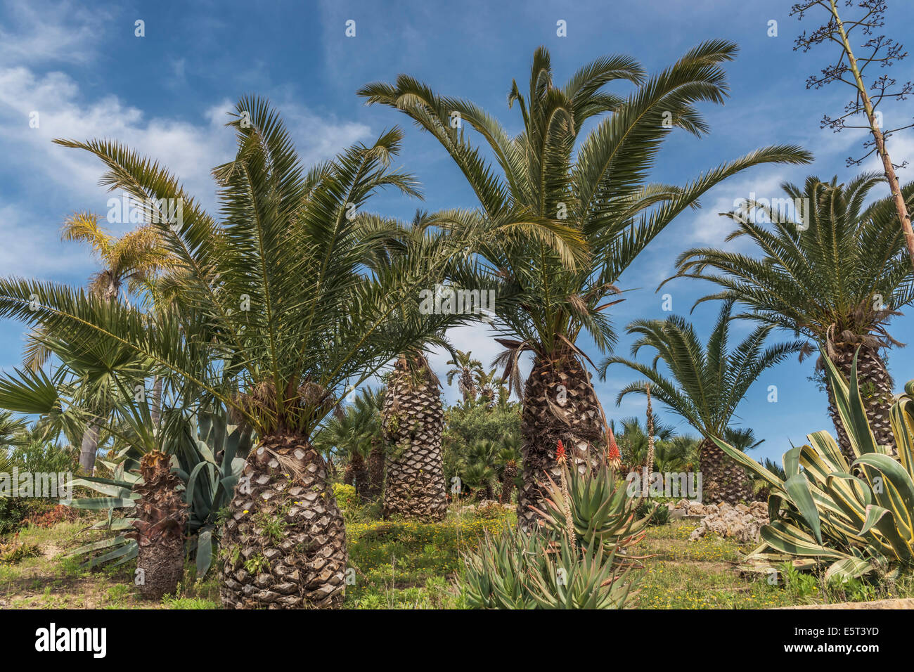 Some date palms (Phoenix) stand side by side - Stock Image