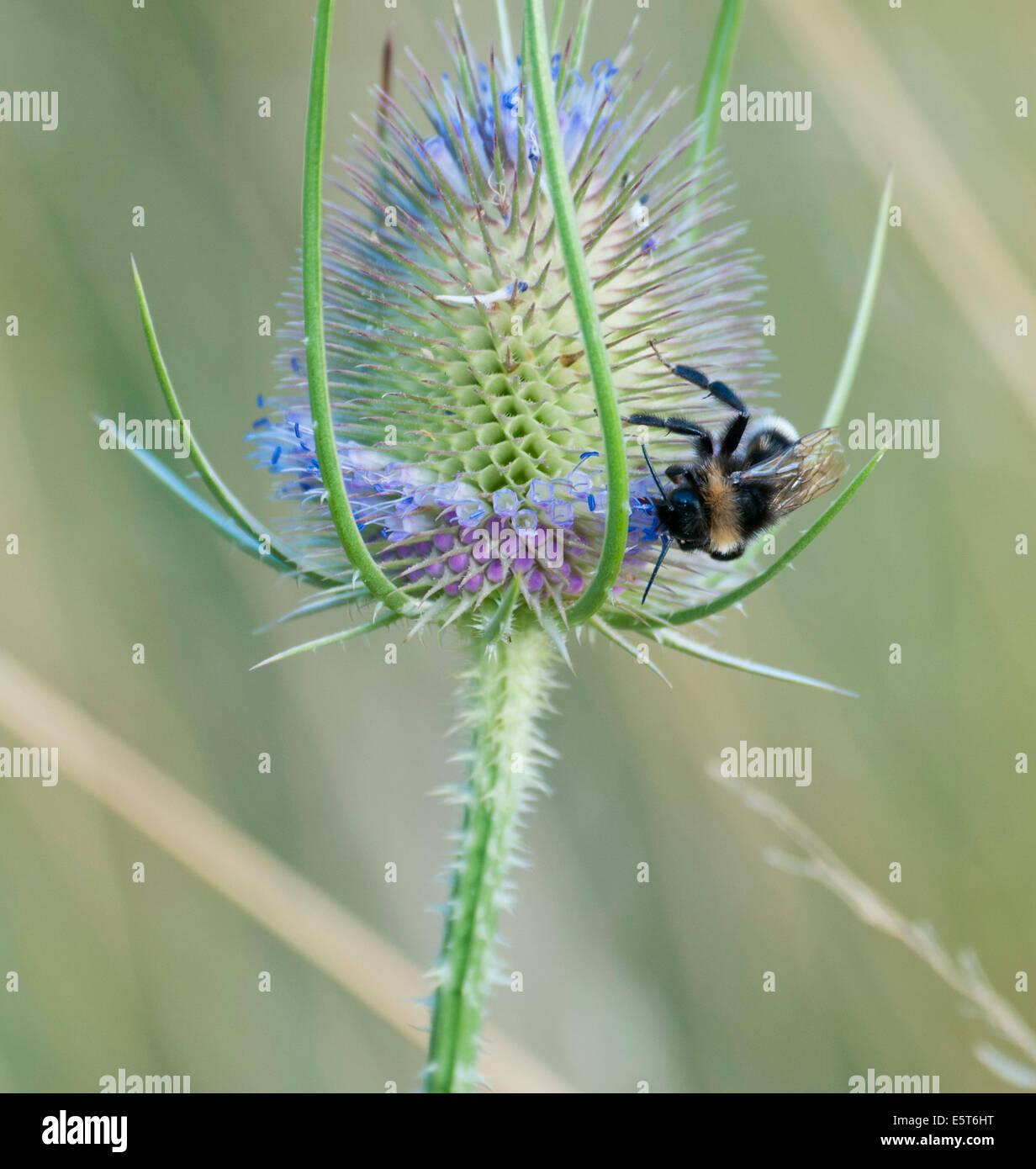Garden bumblebee (bombus hortum) feeding on teasal (dispsacus fullonum) - Stock Image