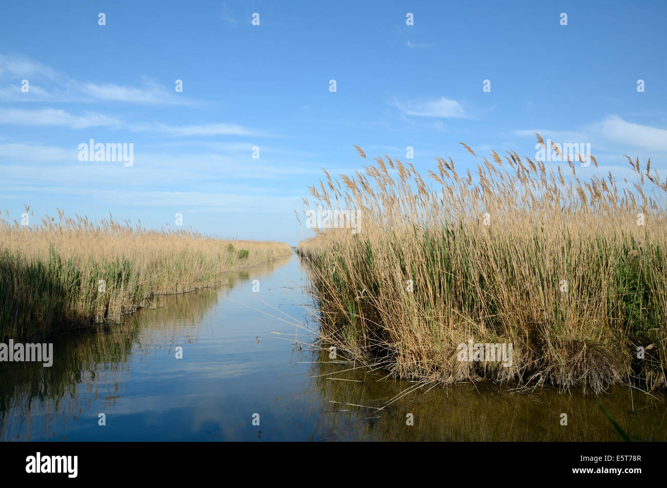 Reed Beds on Vaccarès Lake or Etang Camargue Nature Reserve or Wetlands Rhone Delta Provence France - Stock Image