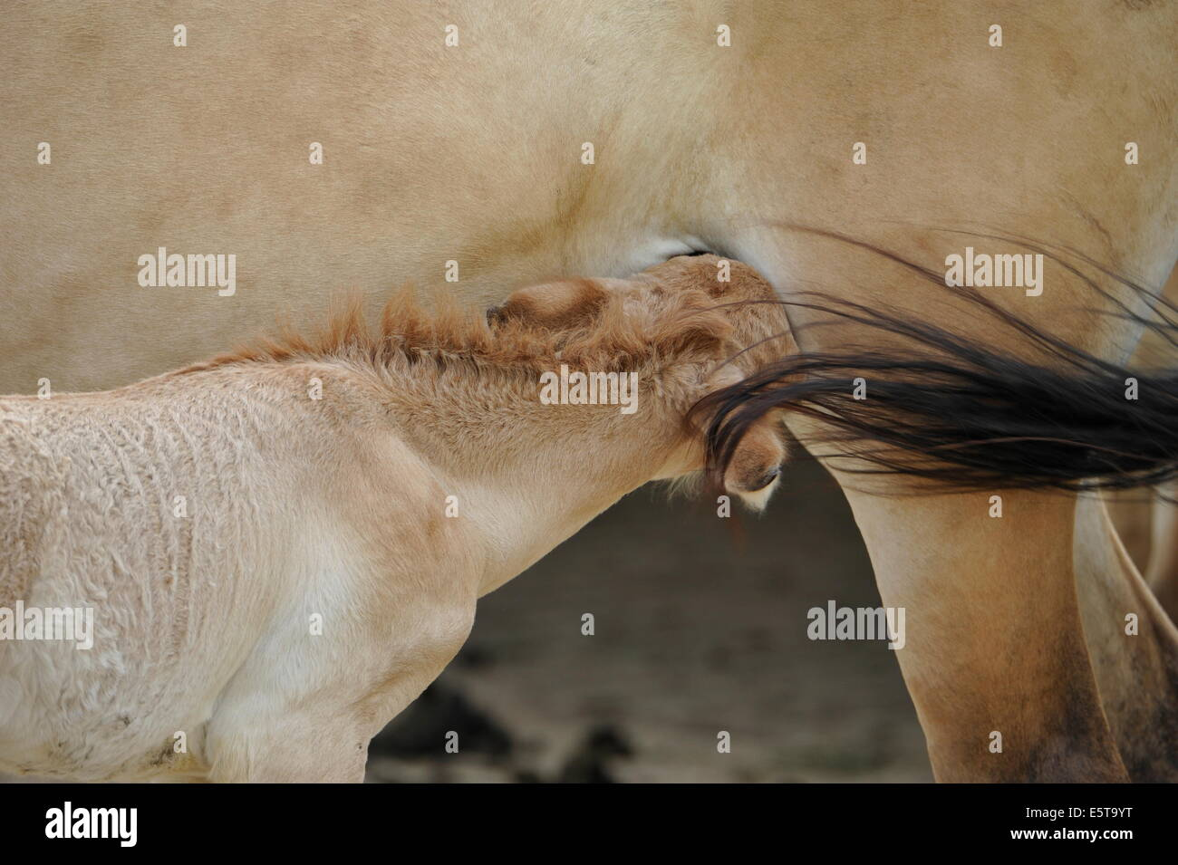 The Przewalski's horse foal suckling from mare. - Stock Image
