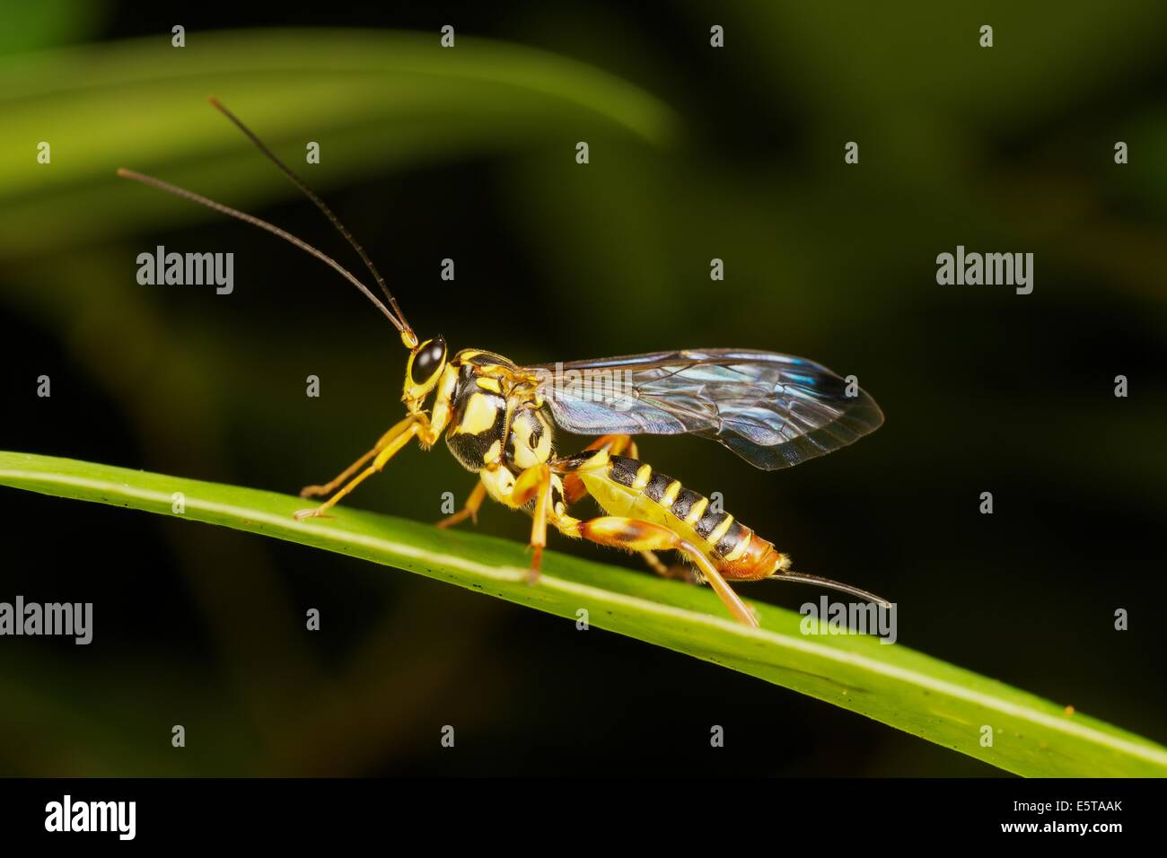 The Ichneumonidae are a family within the order Hymenoptera. Insects in this family are commonly called ichneumon - Stock Image