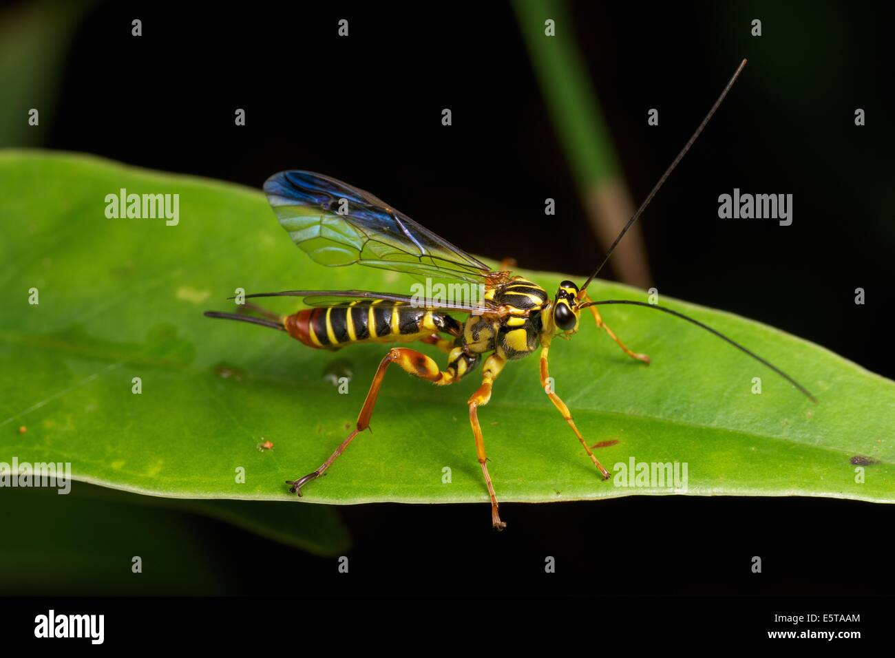 The Ichneumonidae are a family within the order Hymenoptera. Insects in this family are commonly called ichneumon Stock Photo