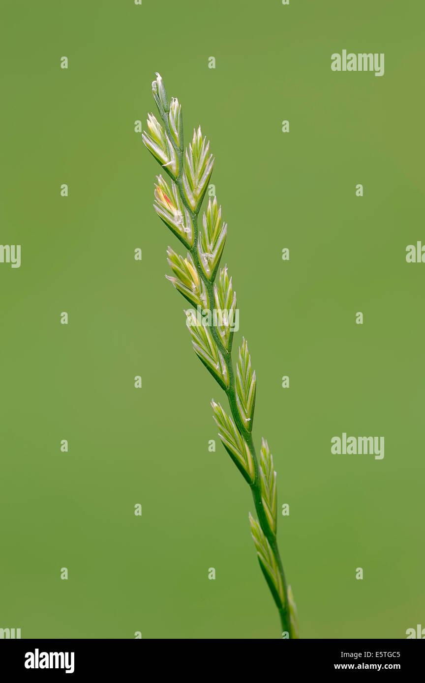 Perennial Ryegrass (Lolium perenne), North Rhine-Westphalia, Germany - Stock Image