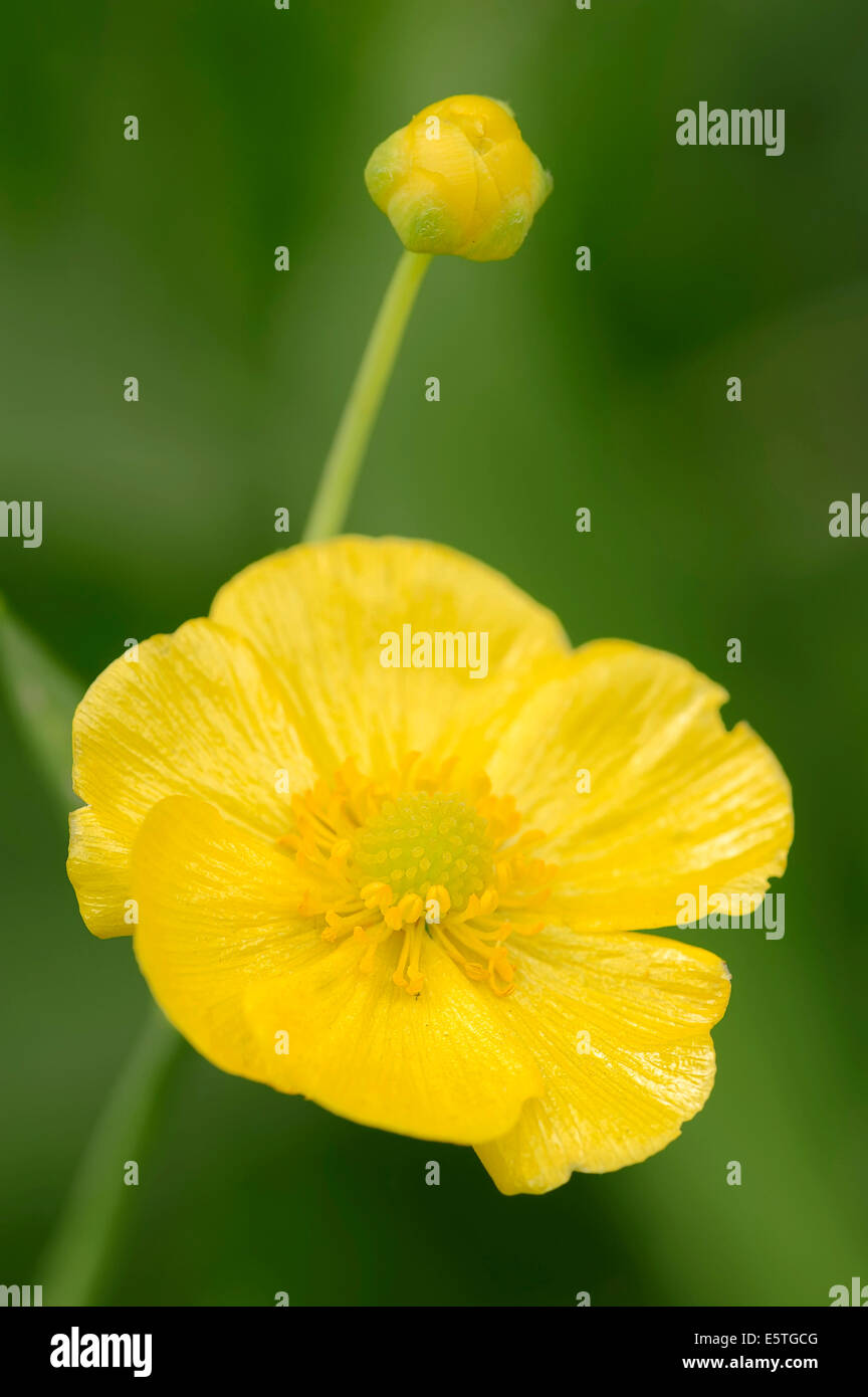 Greater Spearwort or Water Spearwort (Ranunculus lingua), flower, North Rhine-Westphalia, Germany - Stock Image