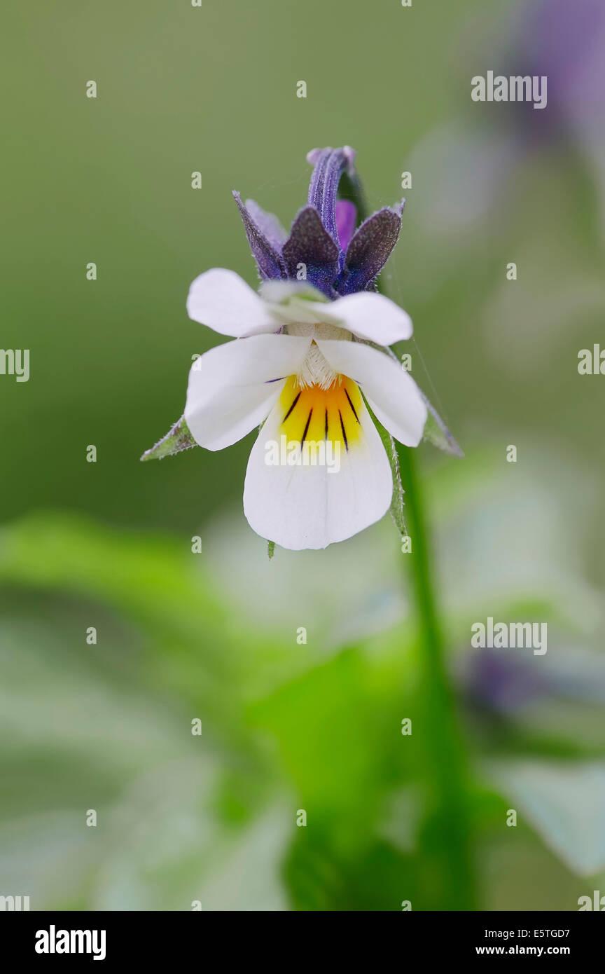 Field Pansy (Viola arvensis), flower, North Rhine-Westphalia, Germany - Stock Image
