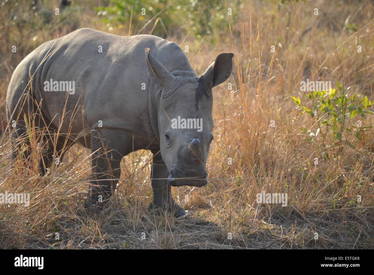 Baby White Rhino mock charging - Stock Image