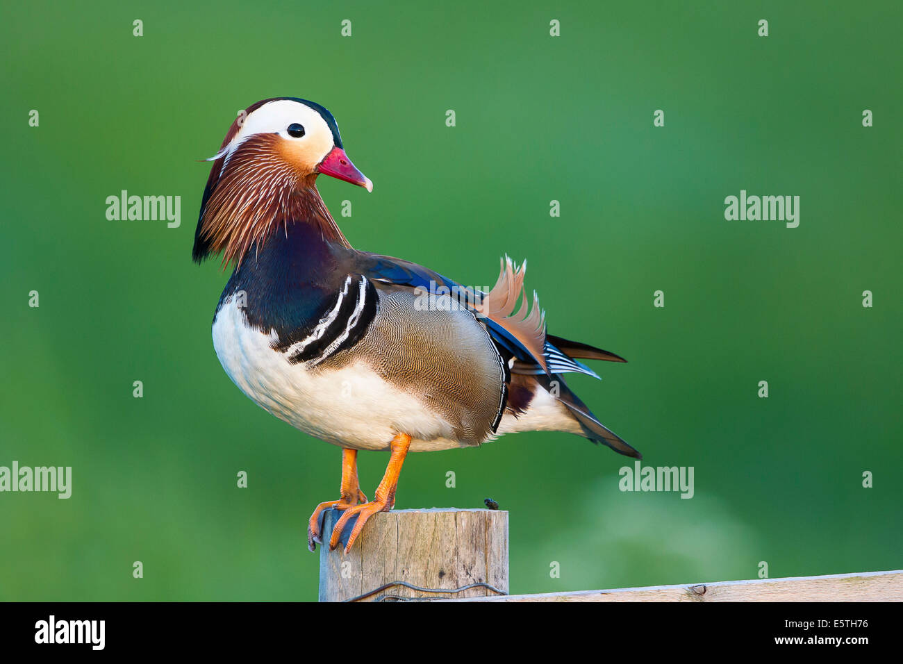 Mandarin Duck (Aix galericulata), male, drake, perched on a fence post, Texel, North Holland, The Netherlands Stock Photo