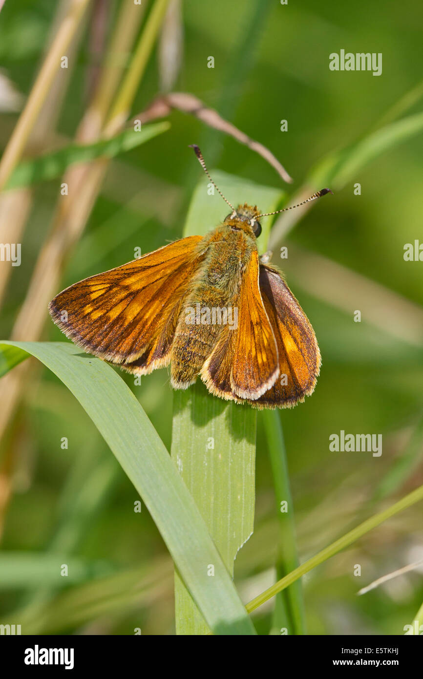 Male Large Skipper butterfly Stock Photo