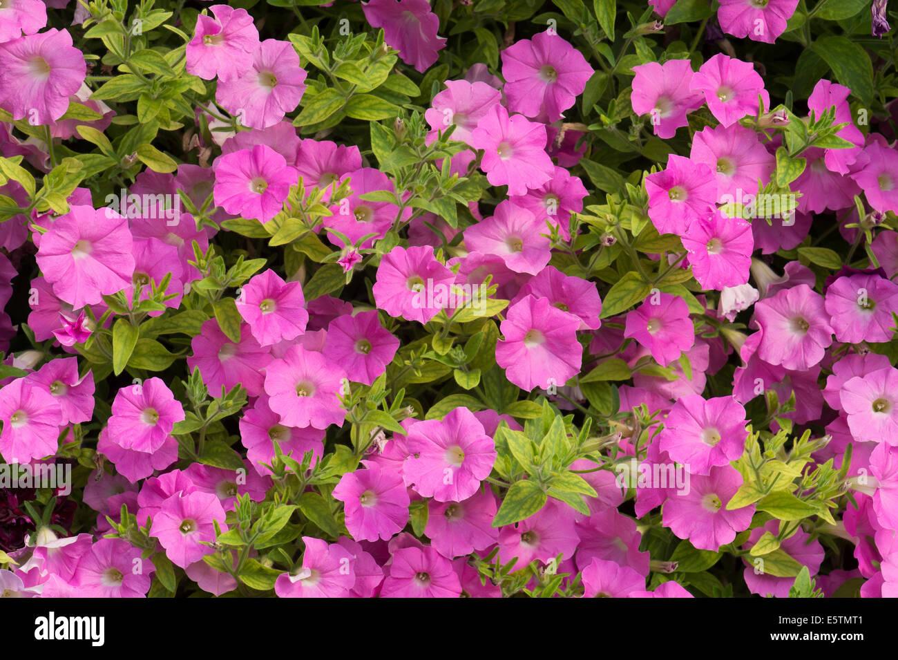 Petunia X hybrida Shock Wave Pink Shade. Spreading Petunia flowers - Stock Image