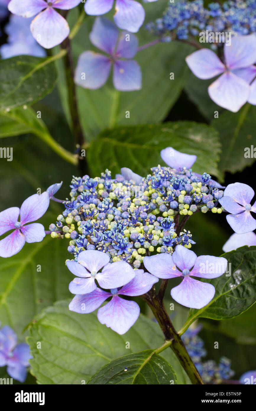Flower heads of Hydrangea macrophylla 'Blue Wave' - Stock Image