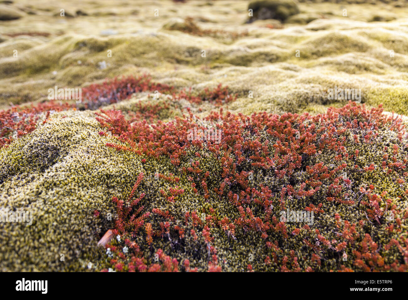 Close-up of lush green and red moss covering volcanic  rocks in a lava field in Iceland Stock Photo