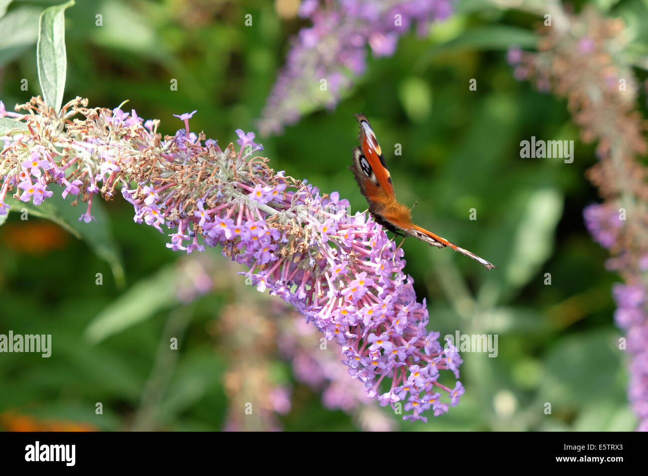 a red admiral butterfly feeding on nectar - Stock Image