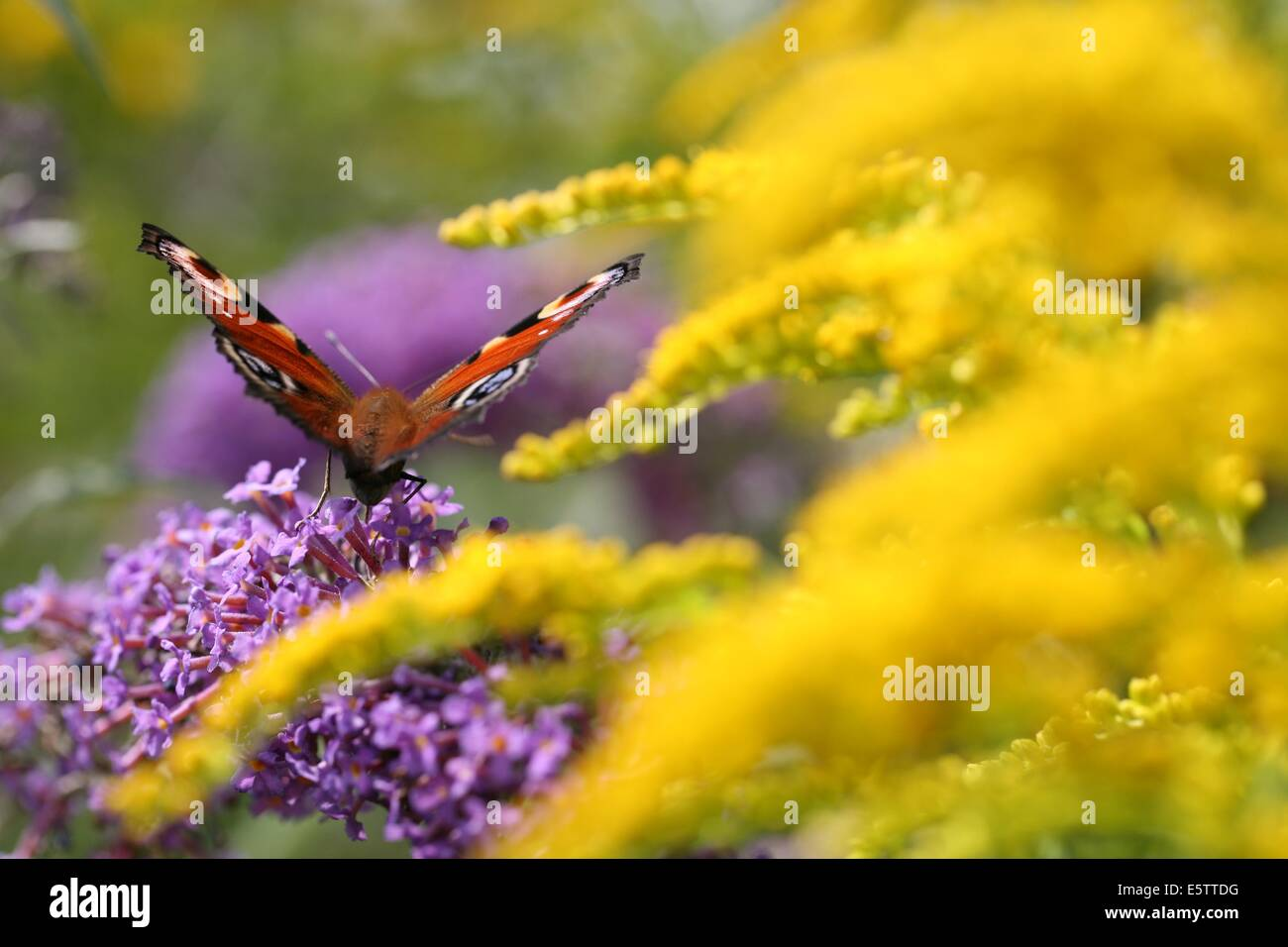 peacock butterfly feeding on nectar - Stock Image