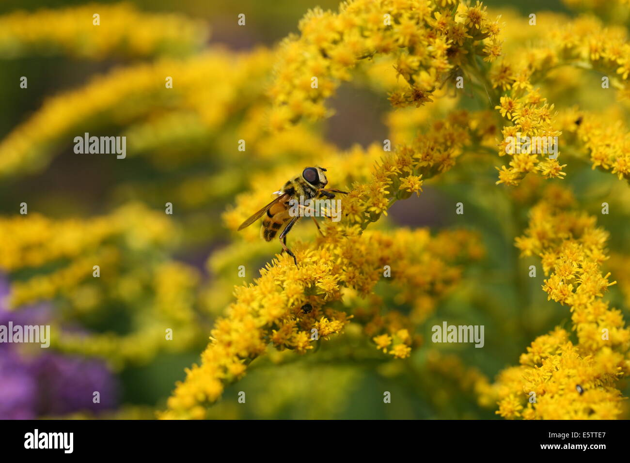 hoverfly feeding on nectar from a plant called goldenrod - Stock Image