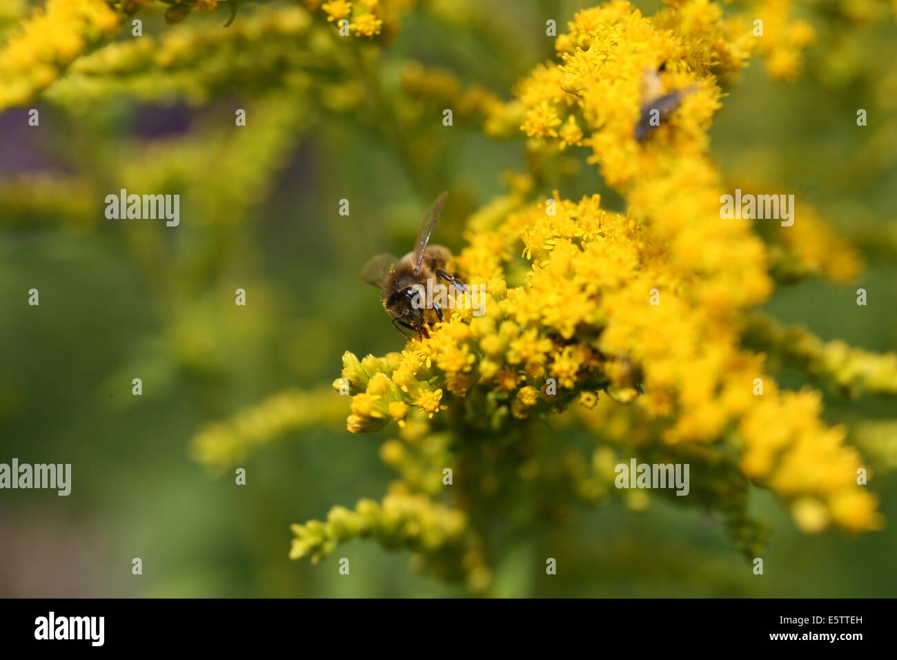 honey bee feeding on nectar - Stock Image