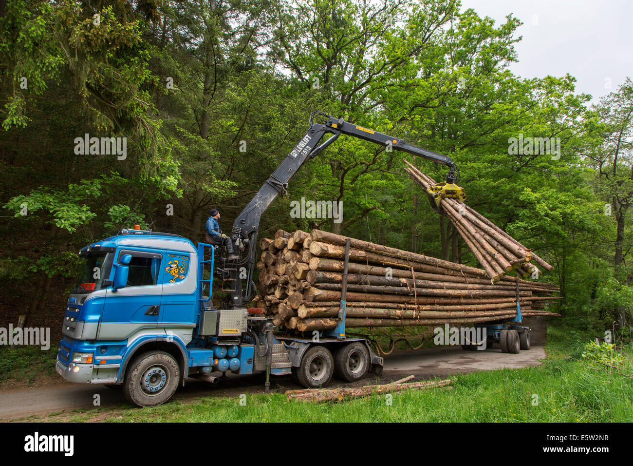 Forester loading felled tree trunks on logging truck with hydraulic crane / loglift in forest - Stock Image