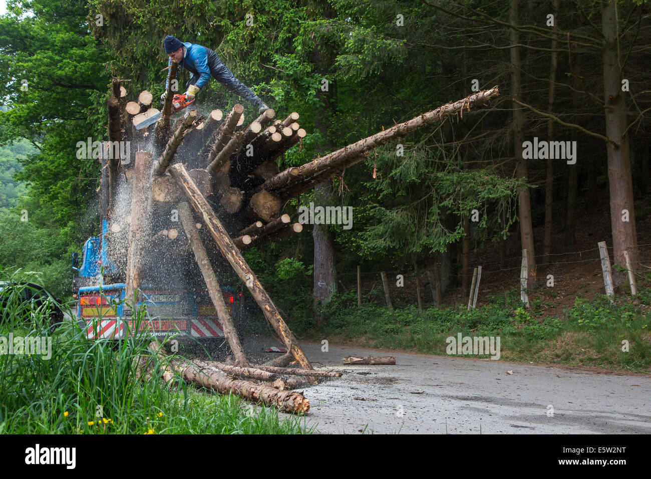 Forester cutting too long logs with chainsaw after loading felled tree trunks on logging truck in forest - Stock Image