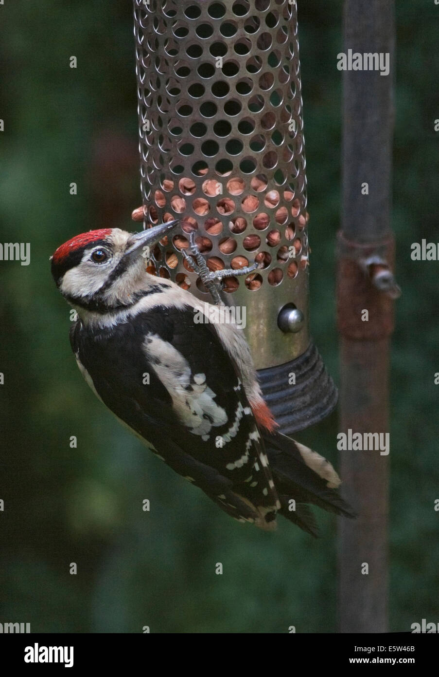 Great Spotted Woodpecker male (dendrocopus major) eating nuts on a bird feeder, UK - Stock Image