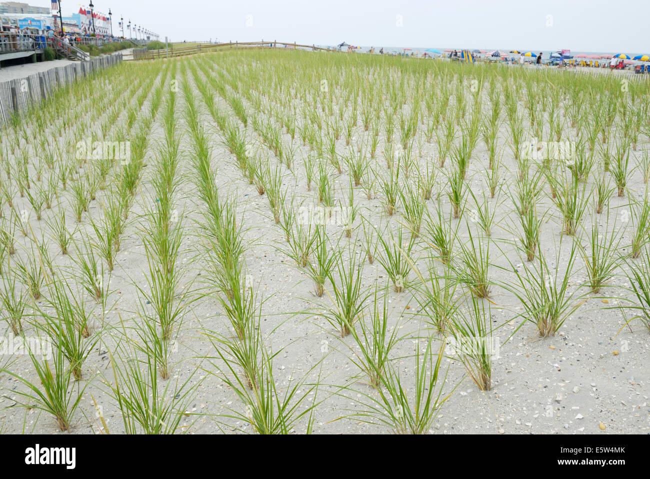 Cape American beach grass, Ammophila breviligulata, planted to stabilize the dunes and prevent beach erosion - Stock Image