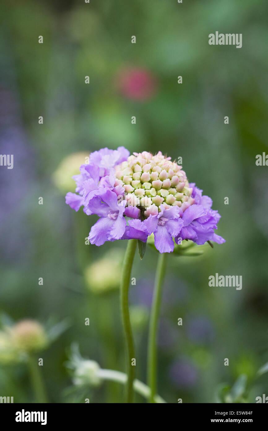 Scabiosa atropurpurea 'Oxford Blue'. Scabious flower close up. - Stock Image
