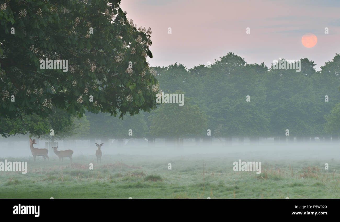 Red deer and full moon, Bushy Park, London, UK - Stock Image