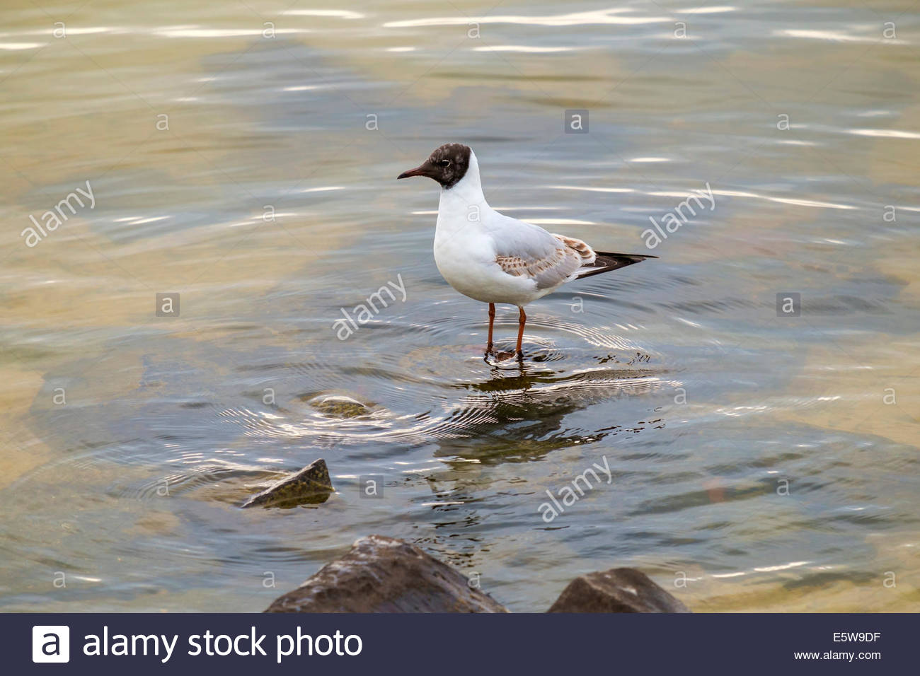 Black-headed Gull (Chroicocephalus ridibundus) with first summer juvenille plumage standing in water, Marken, North - Stock Image