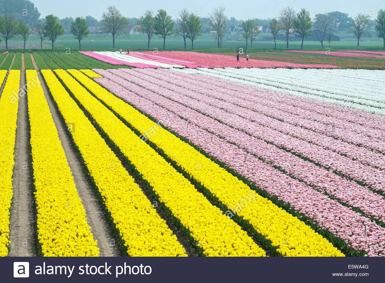 Men working in colorful tulip fields near village of Ursem, North Holland, Netherlands - Stock Image