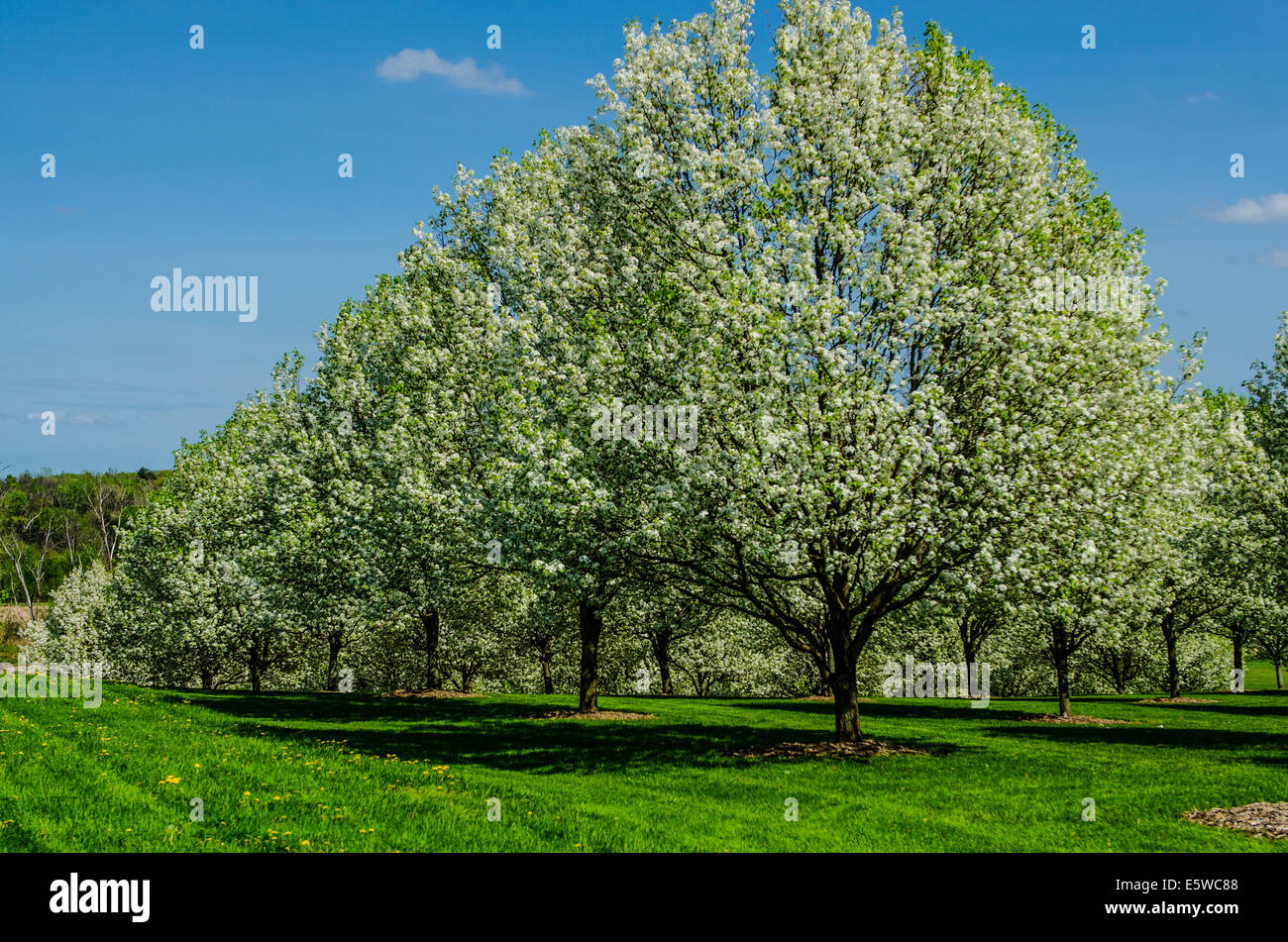 Beech nut trees in a row and columns. - Stock Image