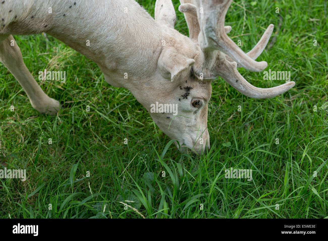 Male fallow deer food searching with sunken head on fresh green grass in summer - Stock Image