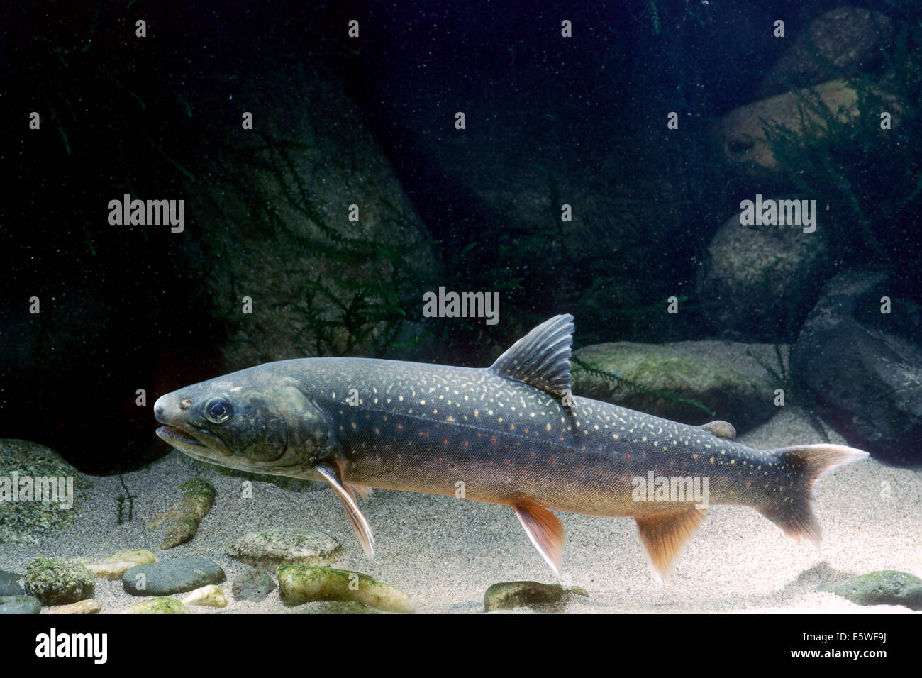 Arctic Shar (Salvelinus alpinus), captive, France - Stock Image