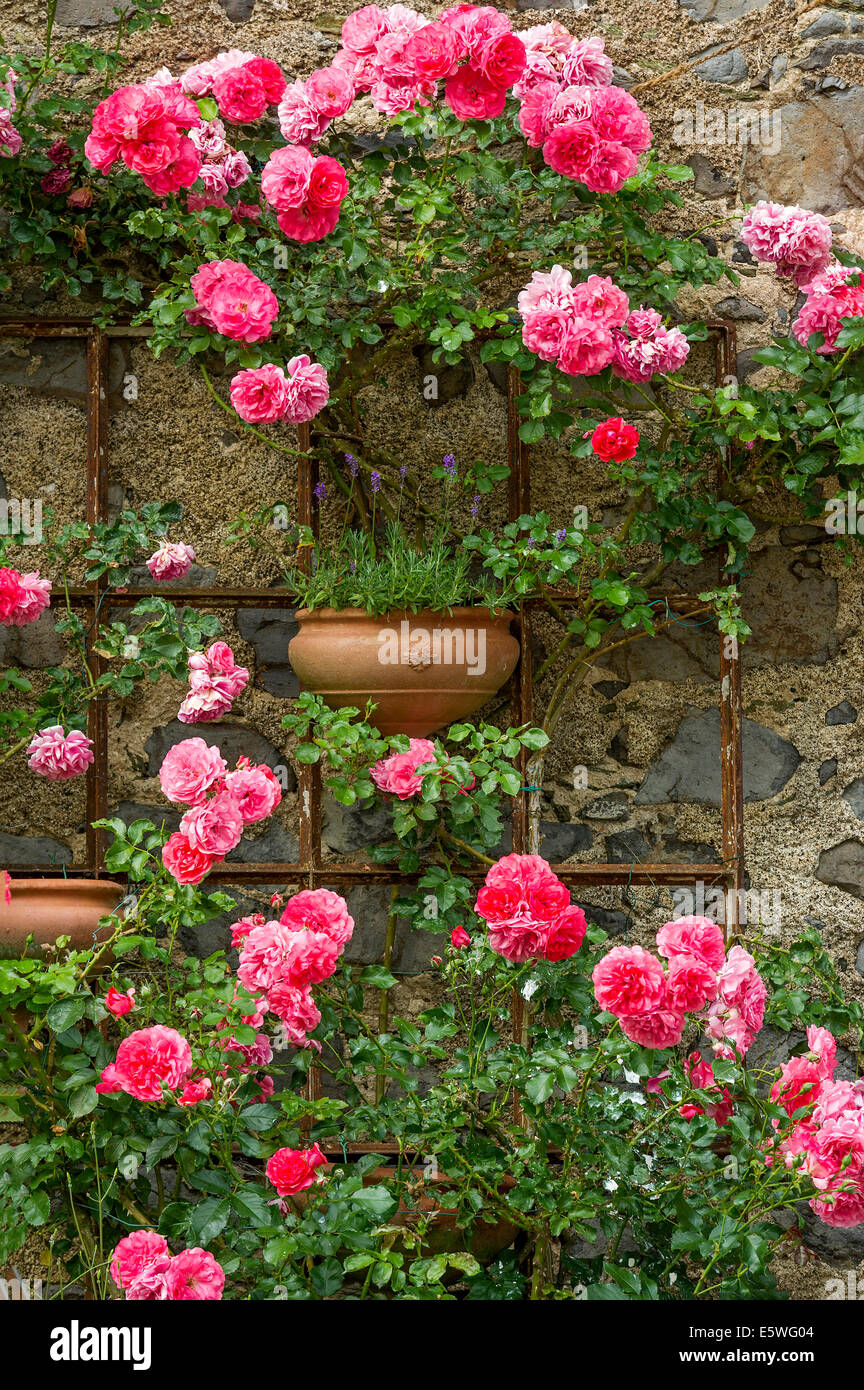 Rambler roses and lavender, historic centre, Braunfels, Hesse, Germany - Stock Image
