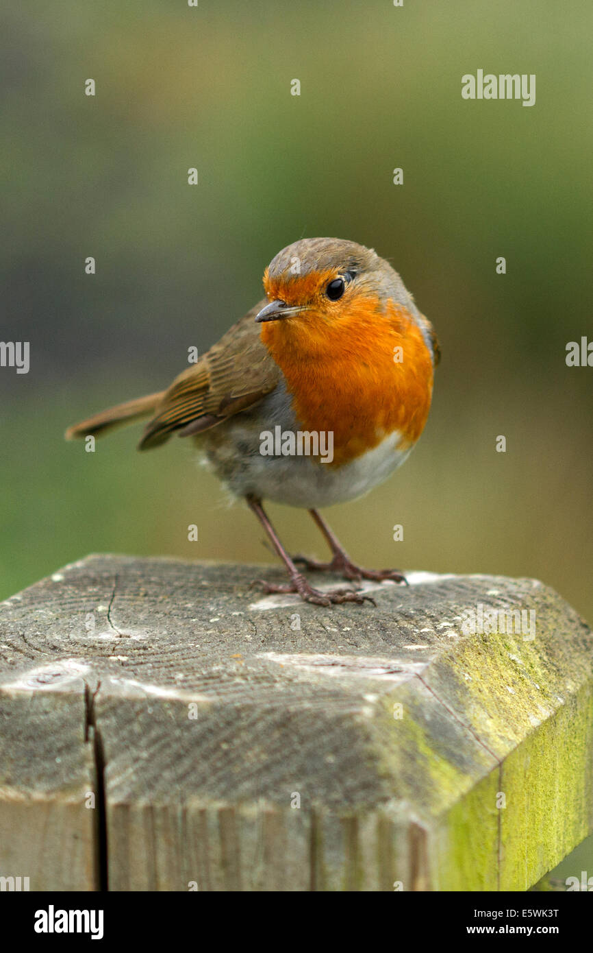 Robin on a fence-post (Erithacus rubecula) - Stock Image