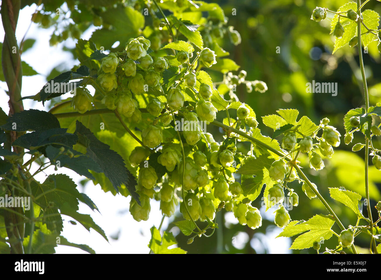 Faversham, Kent, UK 7th August, 2014. Hops (humulus lupulus) ripen in the sunshine as a warm dry day continues, - Stock Image