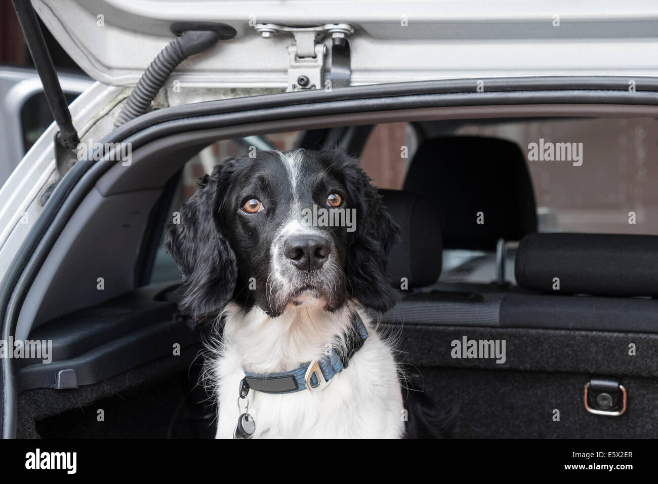 An adult English Springer Spaniel dog patiently waiting to go on a journey in a hatchback car boot with tailgate - Stock Image