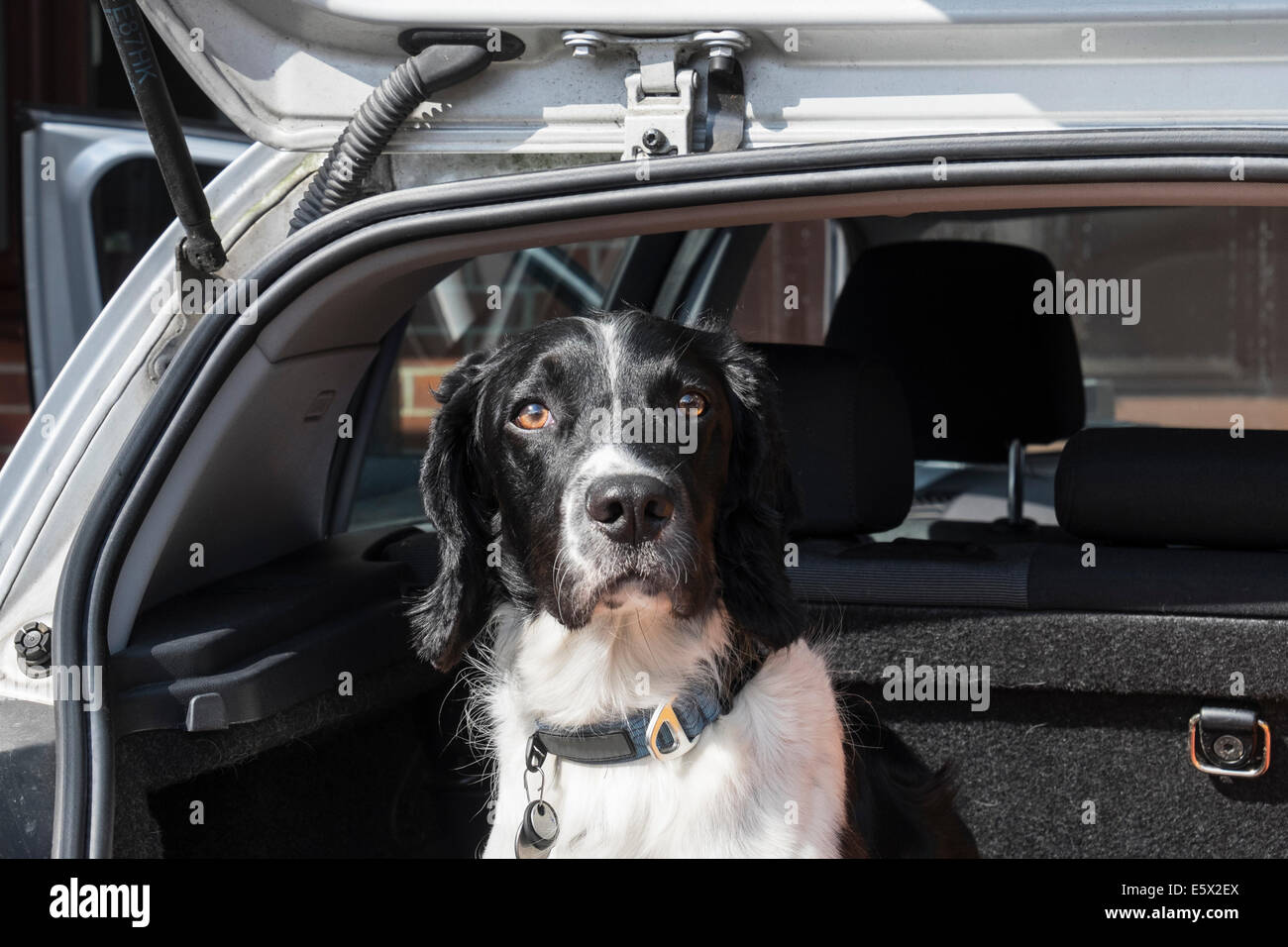 An adult English Springer Spaniel dog sitting waiting to go on a journey in a hatchback car boot with tailgate door - Stock Image