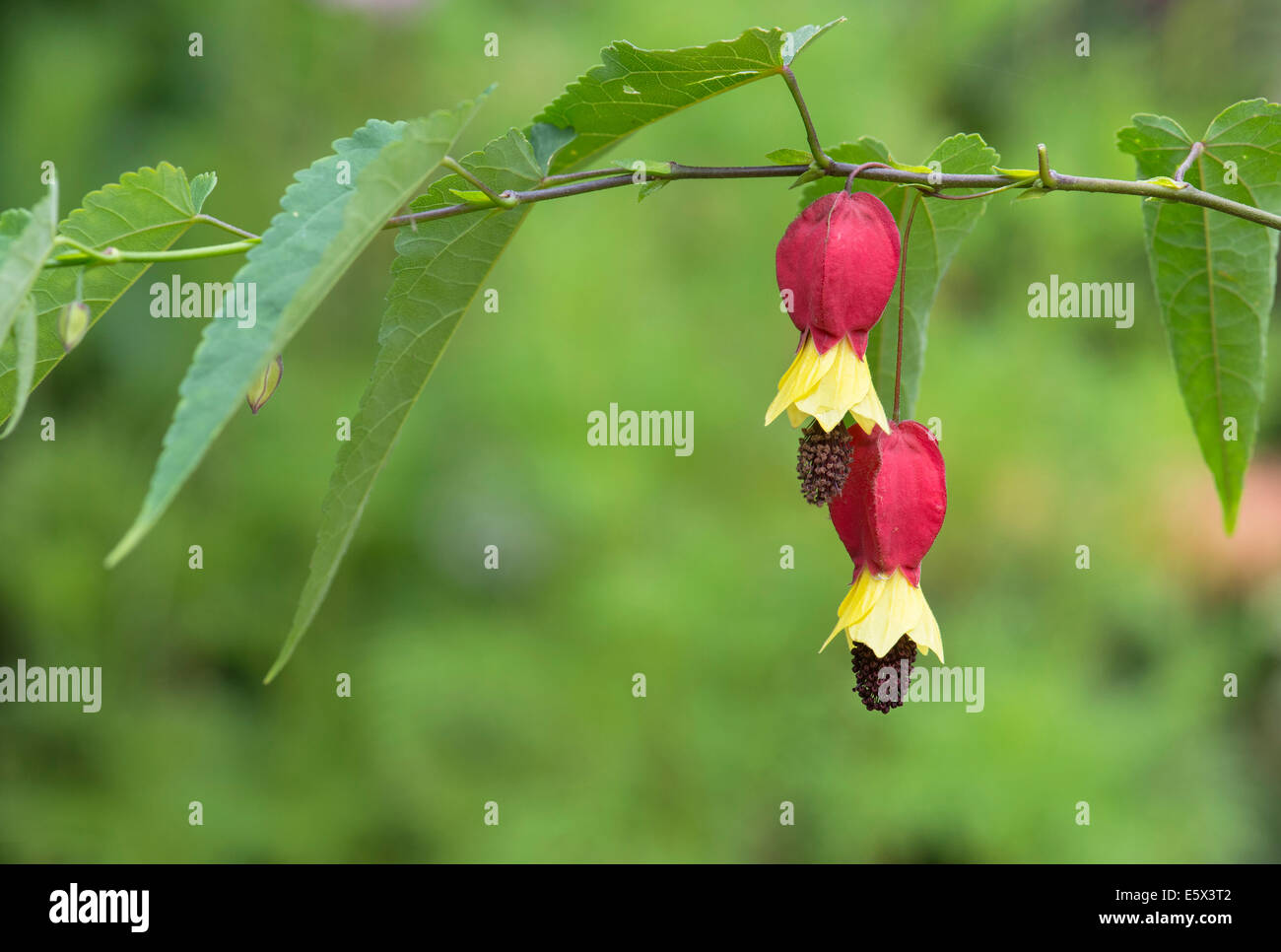 Abutilon megapotamicum. Trailing abutilon - Stock Image