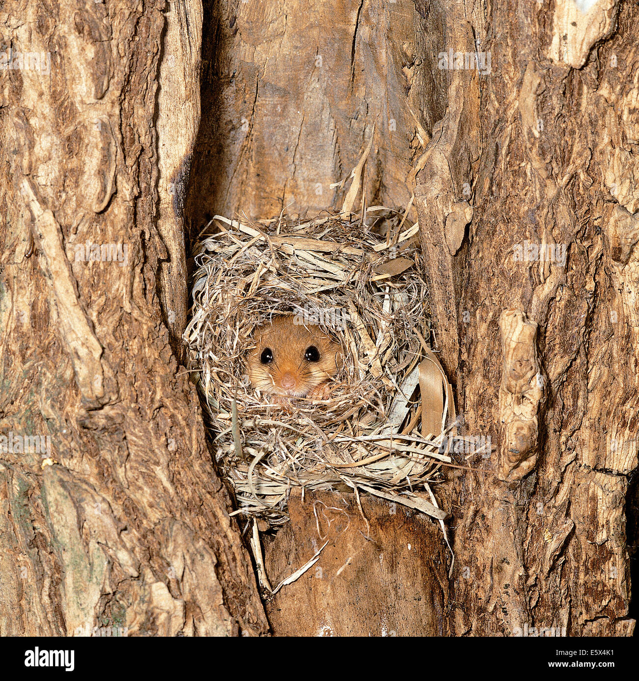 Hazel Dormouse (Muscardinus avellanarius) into  the nest - Stock Image