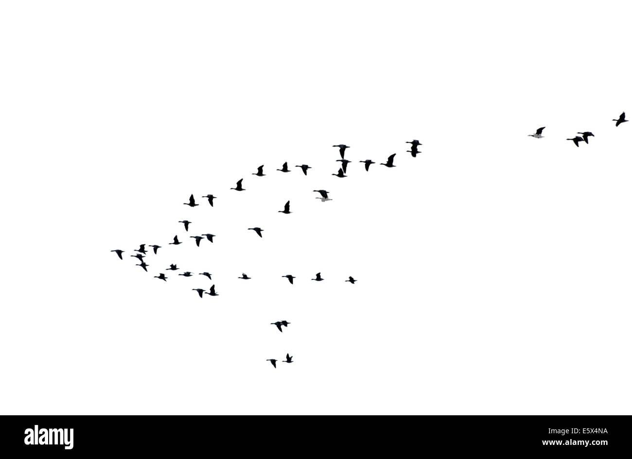 Flock of wild geese - Stock Image
