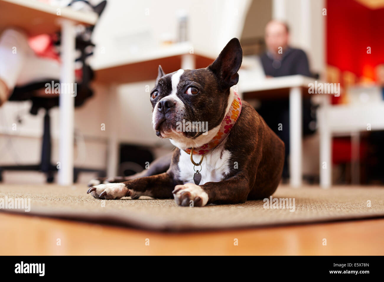 Portrait of curious dog lying on rug in an office - Stock Image
