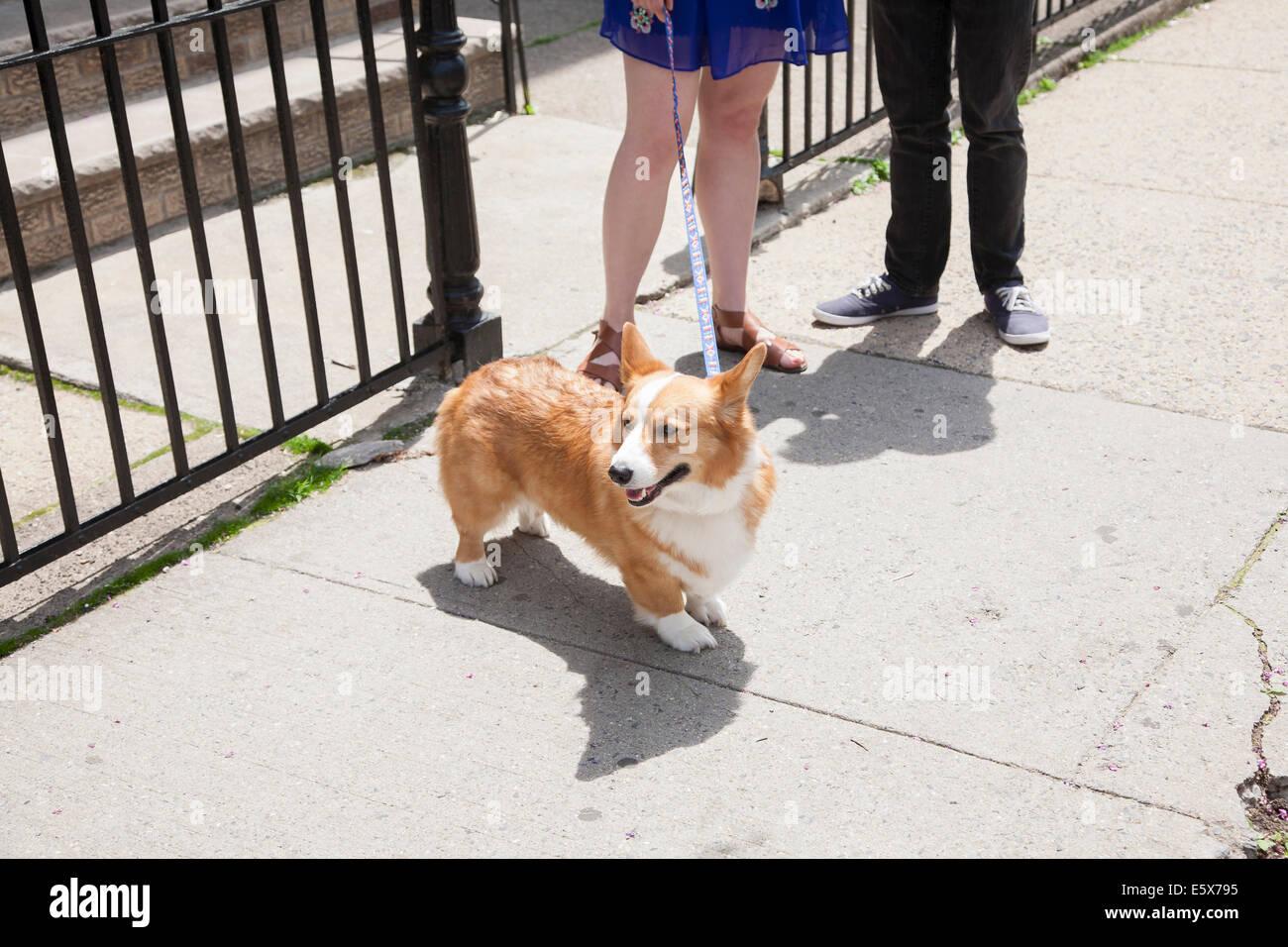 Cropped shot young couple taking corgi dog for a walk - Stock Image