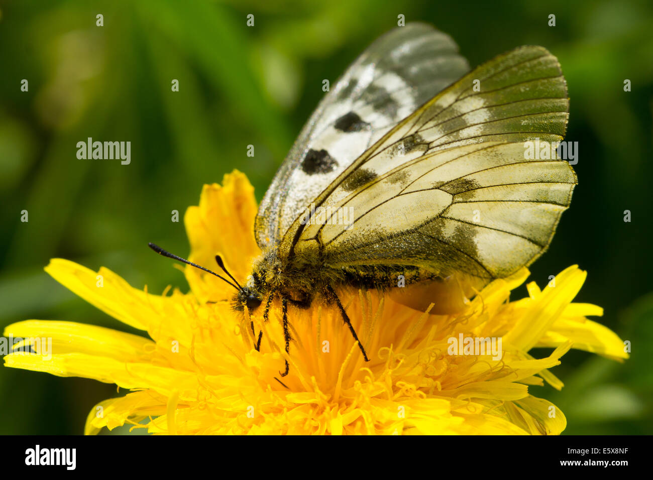 Clouded Apollo (Parnassius mnemosyne) feeding on a dandelion - Stock Image
