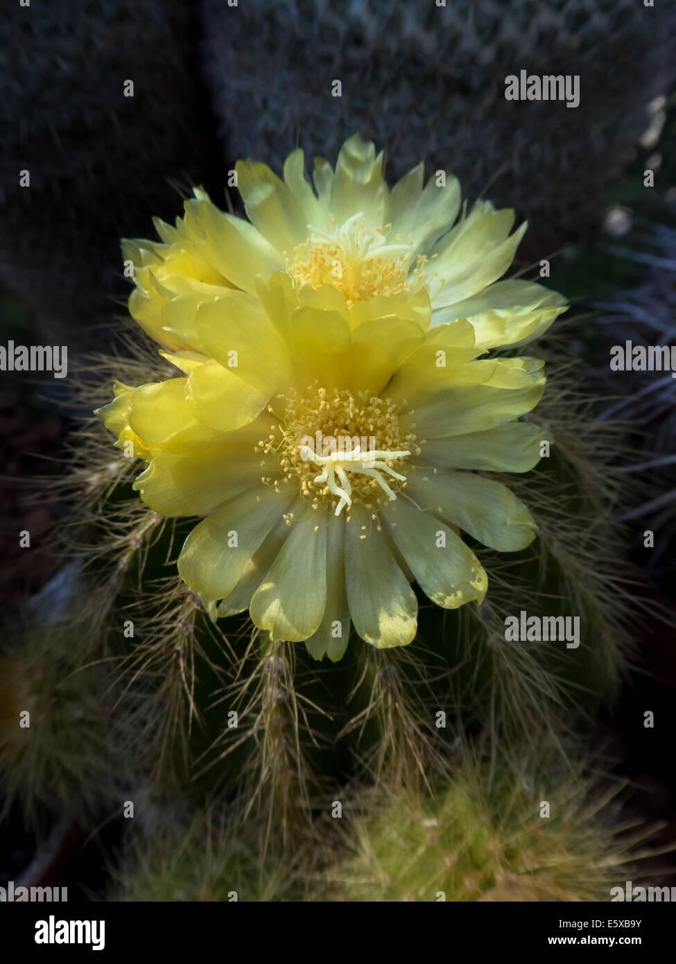 yellow cactus blossom, Notocactus magnificus - Stock Image