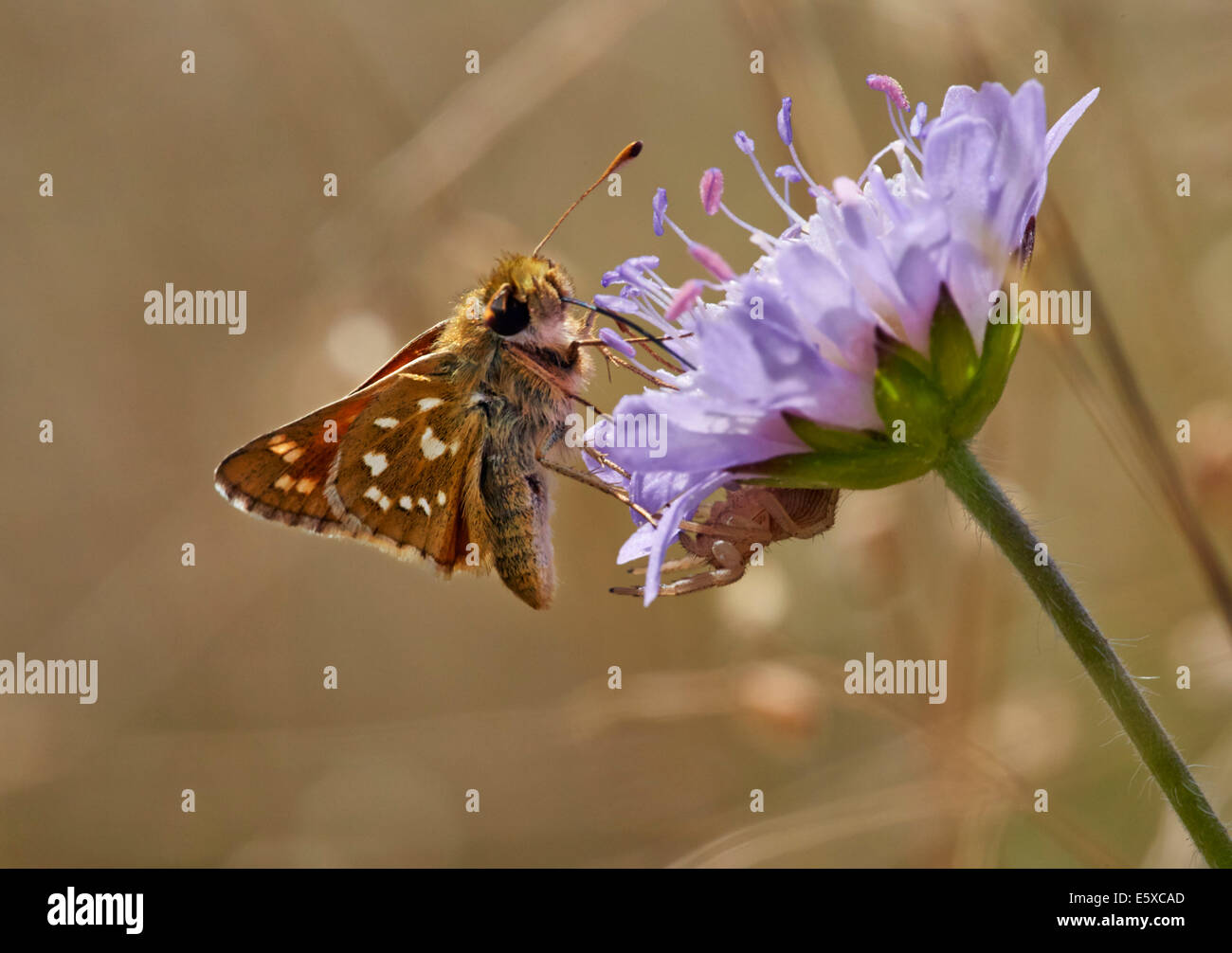 Silver-spotted Skipper on field scabious flower. Denbies Hillside, Ranmore Common, Surrey, England. - Stock Image