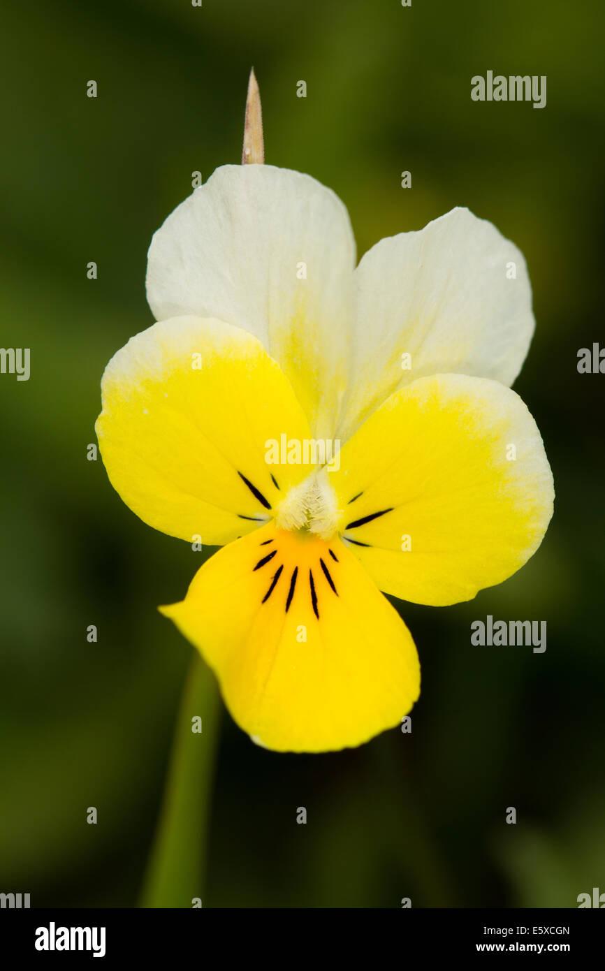 Heartsease (Viola tricolor) - Stock Image