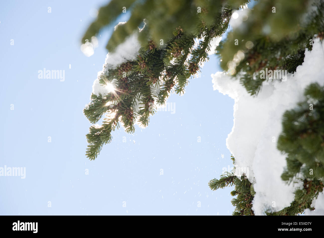 Close up of snow covered pine, Mustang Powder Cats mountain area, BC, Canada - Stock Image