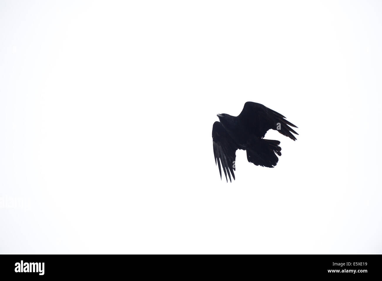 A raven in the Alaska Wildlife Conservation Center, Girdwood, Alaska. - Stock Image