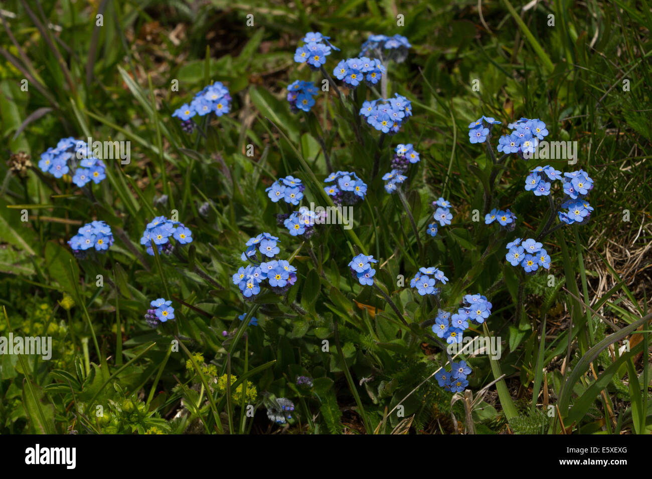 Alpine Forget-me-not (Myosotis alpestris) Stock Photo
