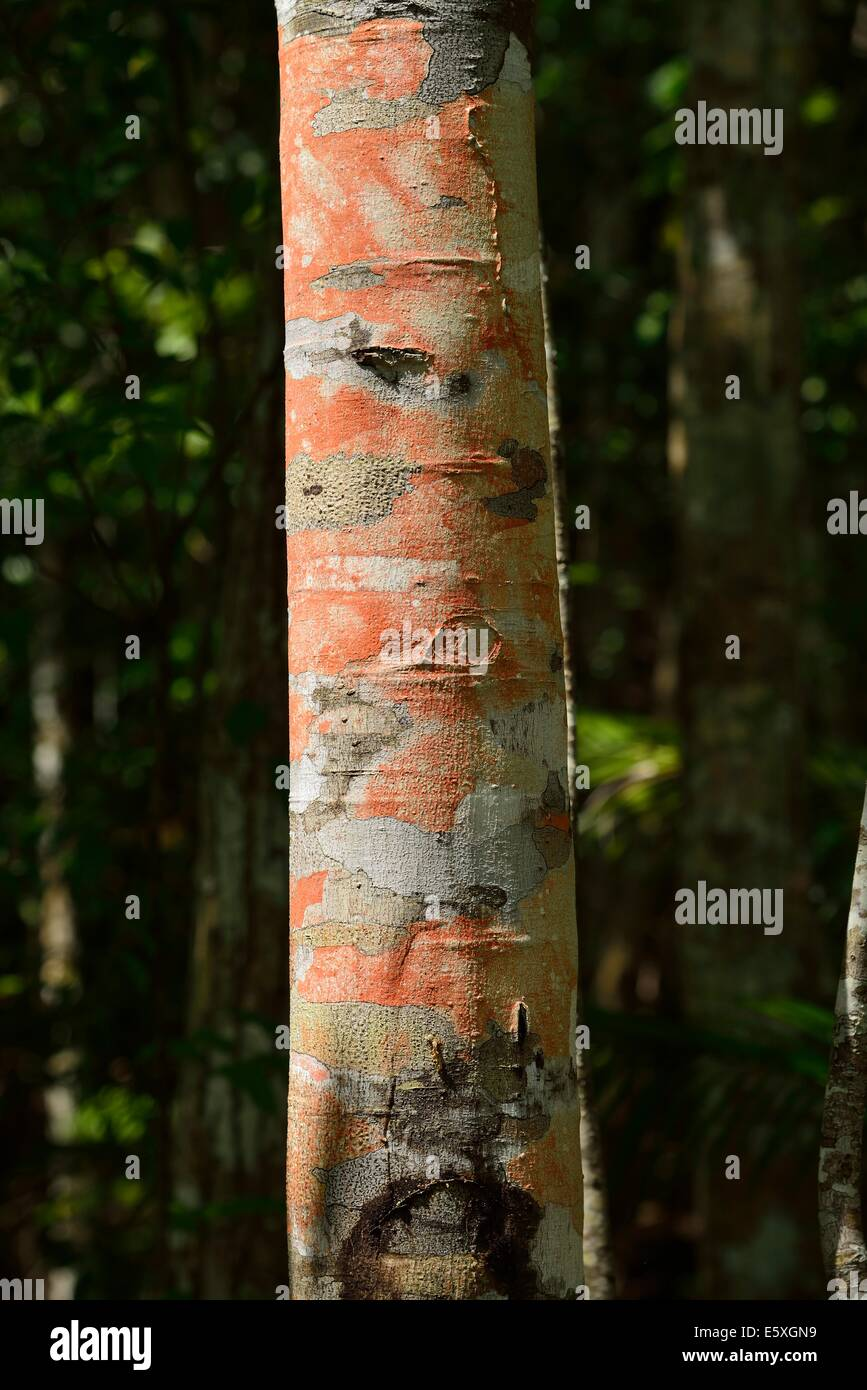 Red lichen on a tree which proves clean air - Stock Image